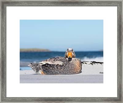 Falkland Flightless Steamer Duck Framed Print