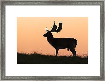 Fallow Deer Buck At Sunset Denmark Framed Print