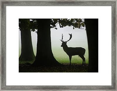 Fallow Deer Buck Framed Print