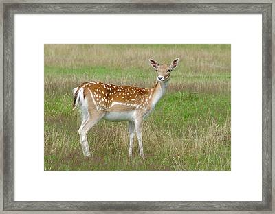 Fallow Deer Doe Framed Print