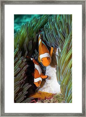 False Clownfish Spawning Framed Print by Georgette Douwma