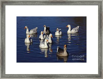 Family Goose Framed Print