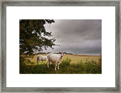 Farm Sheep In Landscape On Stormy Summer Day Framed Print by Matthew Gibson