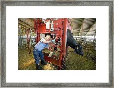 Farmer Checking A Cow's Hoof Framed Print