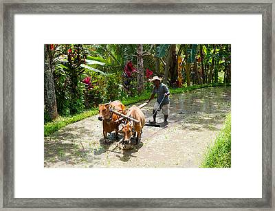 Farmer With Oxen Working In Paddy Framed Print by Panoramic Images