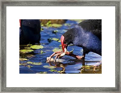 Feeding Red Billed Coot Bird Framed Print