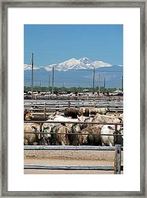 Feedlot Cattle Framed Print
