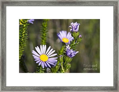Felicia Felicia Echinata Flowers Framed Print by Peter Chadwick