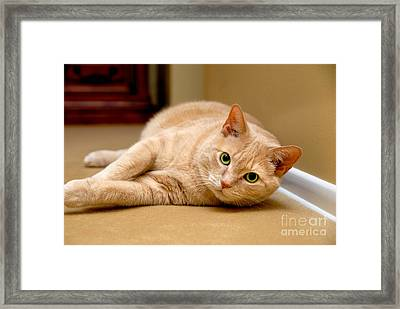 Feline Portrait Framed Print by Amy Cicconi