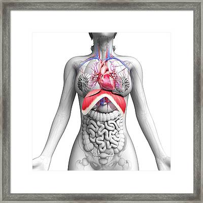 Female Anatomy Framed Print by Pixologicstudio