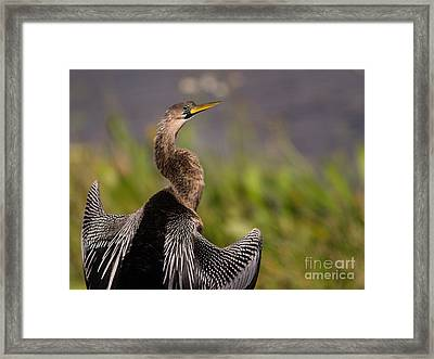 Female Anhinga Framed Print by Tracy Knauer