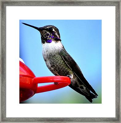 Framed Print featuring the photograph Male Anna On Perch by Jay Milo