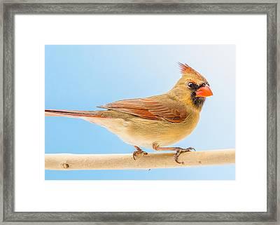 Female Cardinal  Framed Print by Jim Hughes