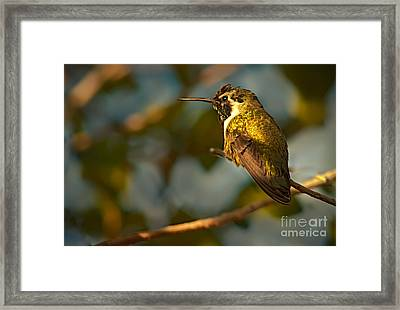 Female Costa's Framed Print by Robert Bales