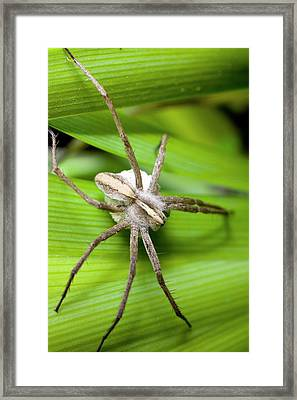 Female Pardosa Amentata With Egg Sac Framed Print by Dr Jeremy Burgess