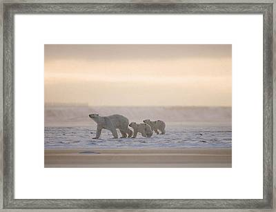 Female Polar Bear With A Pair Of Cubs Framed Print