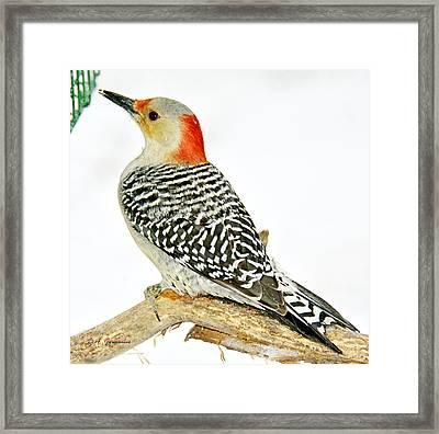 Female Redbellied Woodpecker In Winter Animal Portrait Framed Print