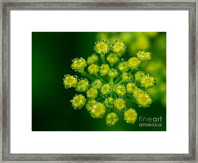 Fennel Bloom Foeniculum Vulgare Framed Print by Iris Richardson