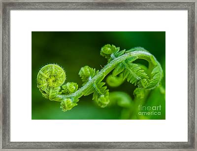 Fiddlehead Fern Close-up Framed Print by Dawna  Moore Photography