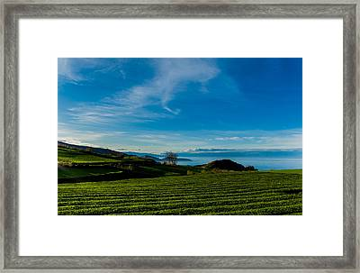 Field Of Tea Framed Print