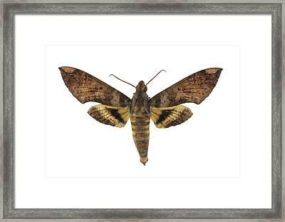 Fig Sphinx Moth Framed Print by F. Martinez Clavel
