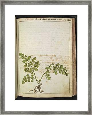 Filipendola Plant Framed Print by British Library