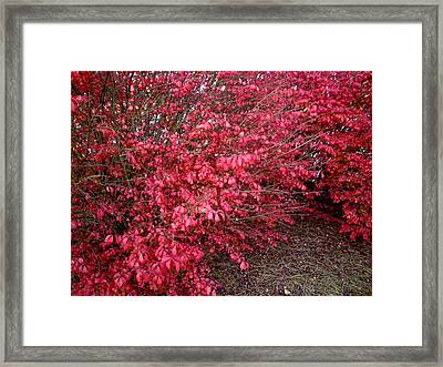 Framed Print featuring the photograph Fire Bush by Pete Trenholm