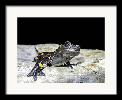 Fire Salamander Framed Prints