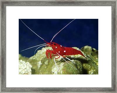 Fire Shrimp Or Scarlet Cleaner Shrimp Framed Print by Nigel Downer