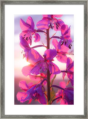 Fireweed At Sunset Framed Print