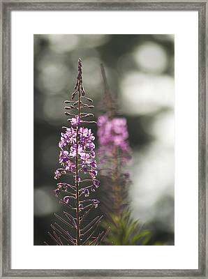 Framed Print featuring the photograph Fireweed by Yulia Kazansky