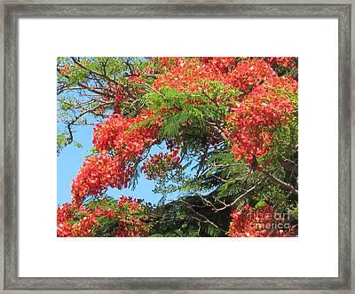 Flamboyants - Ile De La Reunion - Reunion Island Framed Print by Francoise Leandre