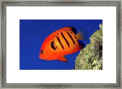 Flame Angelfish Framed Print