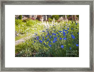 Flax Flowers In Summer Garden Framed Print by Elena Elisseeva