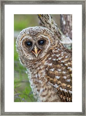 Fledgling Barred Owl (strix Varia Framed Print by Chuck Haney