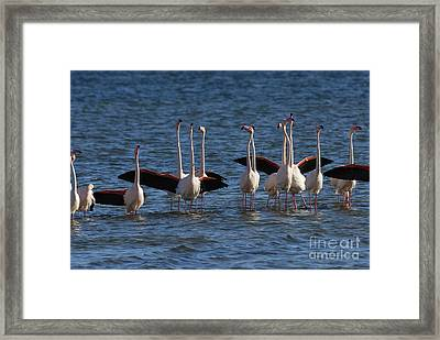 Flock Of Greater Flamingoes  Framed Print