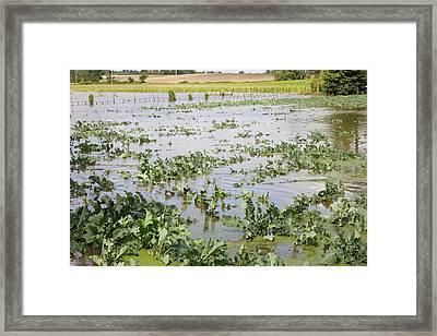 Flooded Crops Framed Print