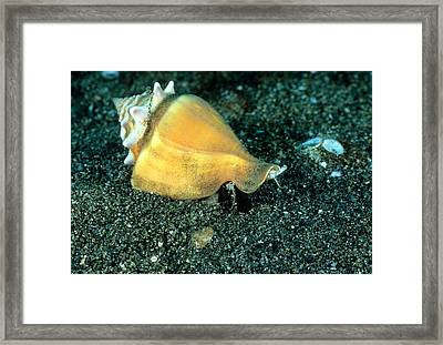 Florida Fighting Conch Strombus Alatus Framed Print by Andrew J. Martinez