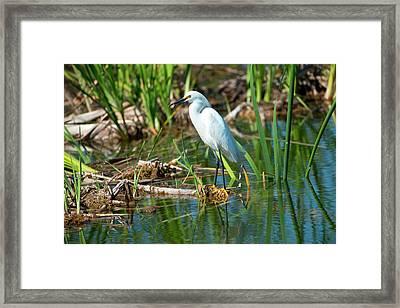 Florida, Immokalee, Snowy Egret Hunting Framed Print
