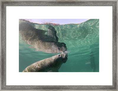 Florida Manatee Taking Air At Surface Framed Print by Michael Szoenyi