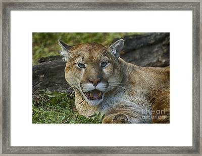 Florida Panther Framed Print by Anne Rodkin