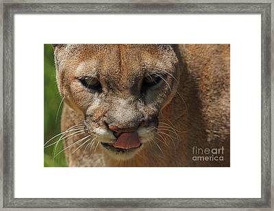 Framed Print featuring the photograph Florida Panther by Meg Rousher