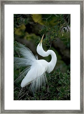 Florida, St Augustine Great Egret Framed Print
