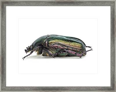 Flower Chafer Framed Print by F. Martinez Clavel