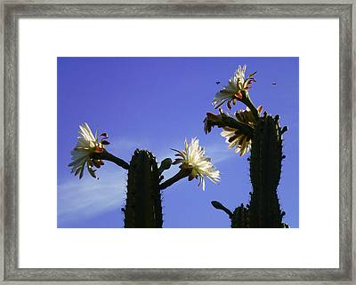 Flowering Cactus 4 Framed Print