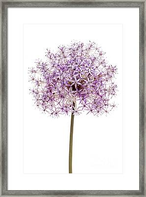Flowering Onion Framed Print by Elena Elisseeva