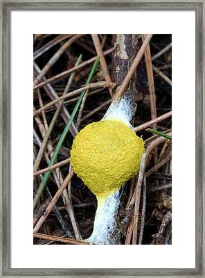 Flowers Of Tan Slime Mould Framed Print by Nigel Downer