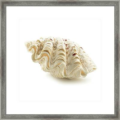 Fluted Giant Clam Shell Framed Print