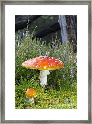 Fly Agaric Amanita Muscaria Mushrooms Framed Print by Duncan Shaw