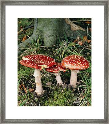 Fly Agaric Mushrooms In Wood Framed Print